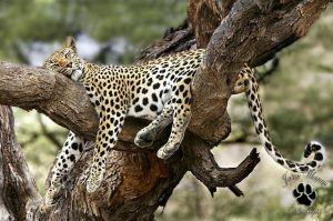 Zimbabwe luipaard in boom