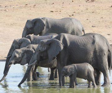 Zimbabwe-olifanten